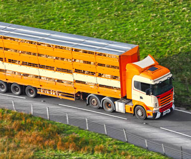 Livestock Transport_384x319